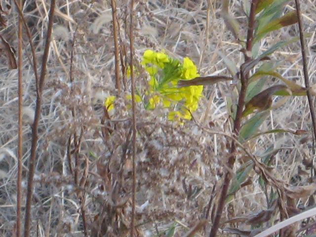 冬の菜の花