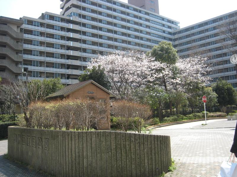 本日の豊洲の桜情報