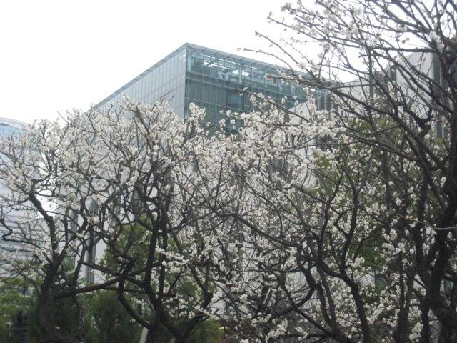 芝浦工大の梅の花