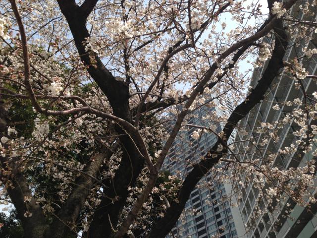豊洲の桜 芝浦 2013