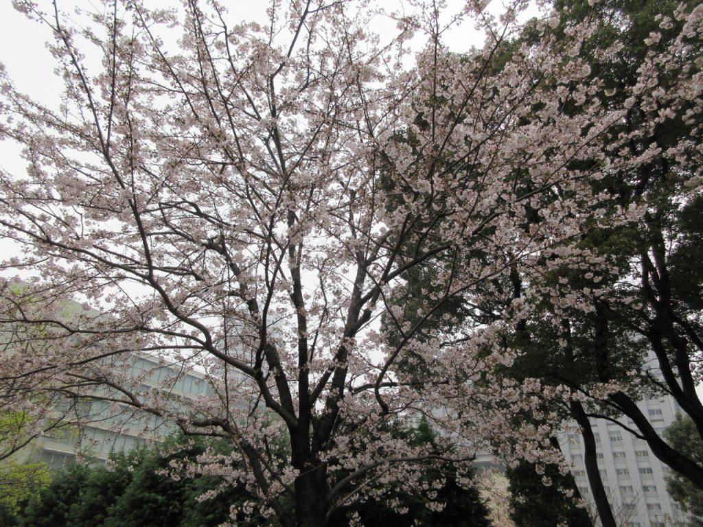 芝浦工業大学付近の桜