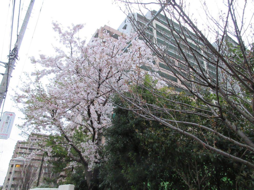 深川第五中学校付近の桜
