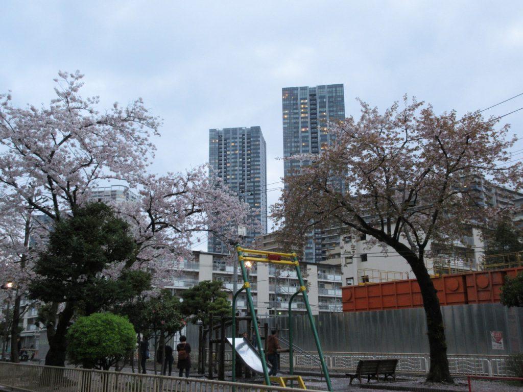豊洲四丁目公園の桜