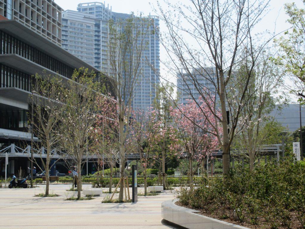 パークホームズ豊洲の桜