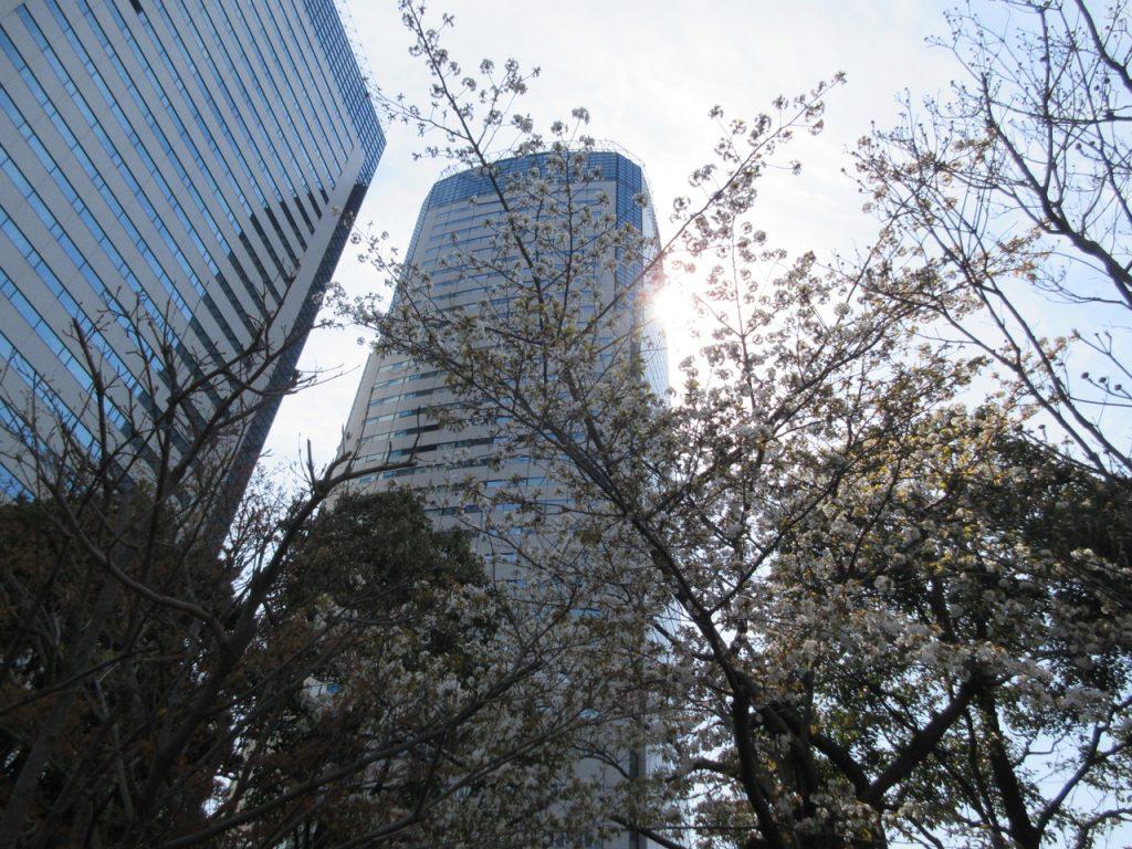 豊洲センタービル敷地の桜