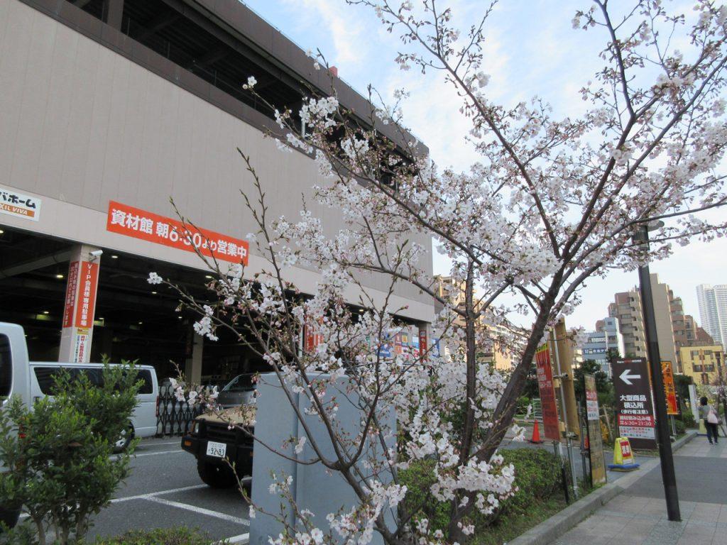 ビバホーム豊洲付近の桜