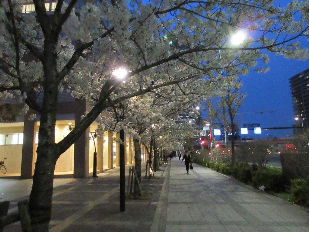 パークシティ豊洲周りの桜