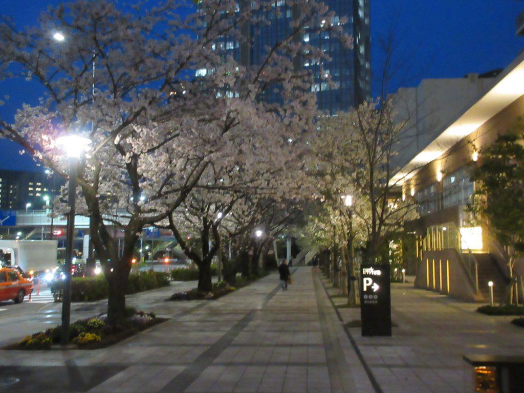 パークシティ豊洲周りの桜の木