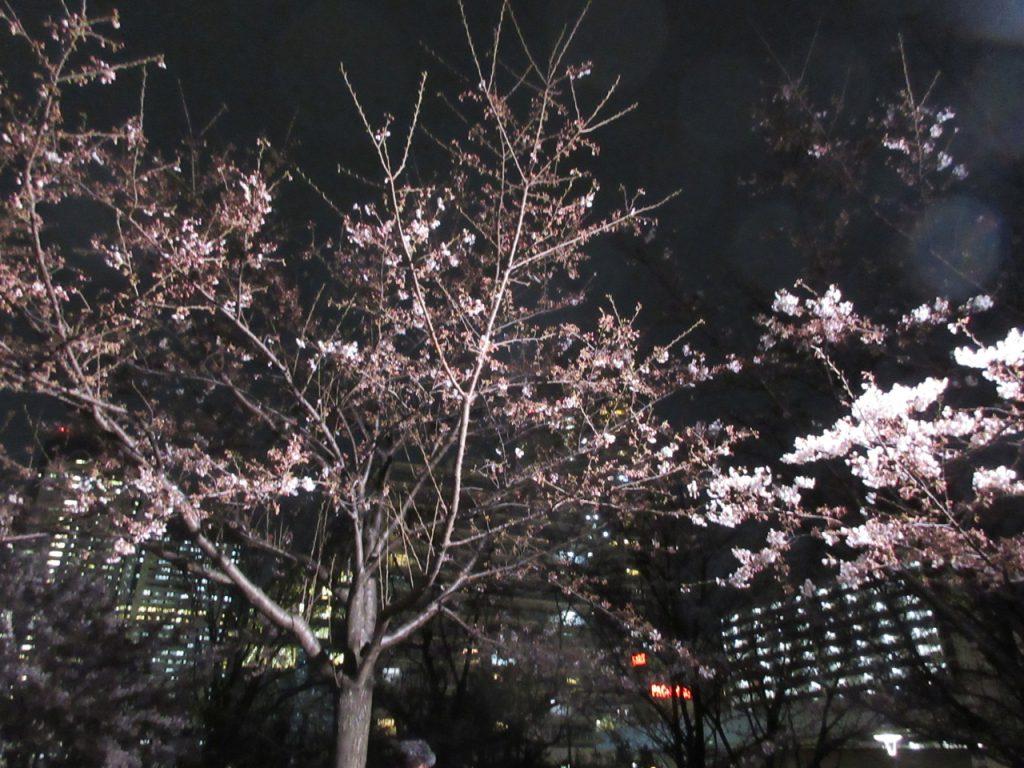 豊洲公園の桜