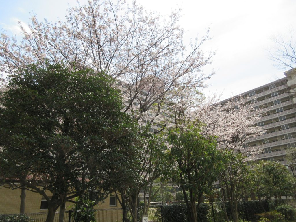うるおいの木かげ道路の桜