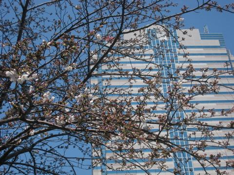 豊洲の桜開花状況 2009