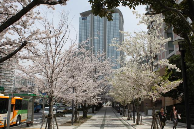 豊洲の桜 2012 その2