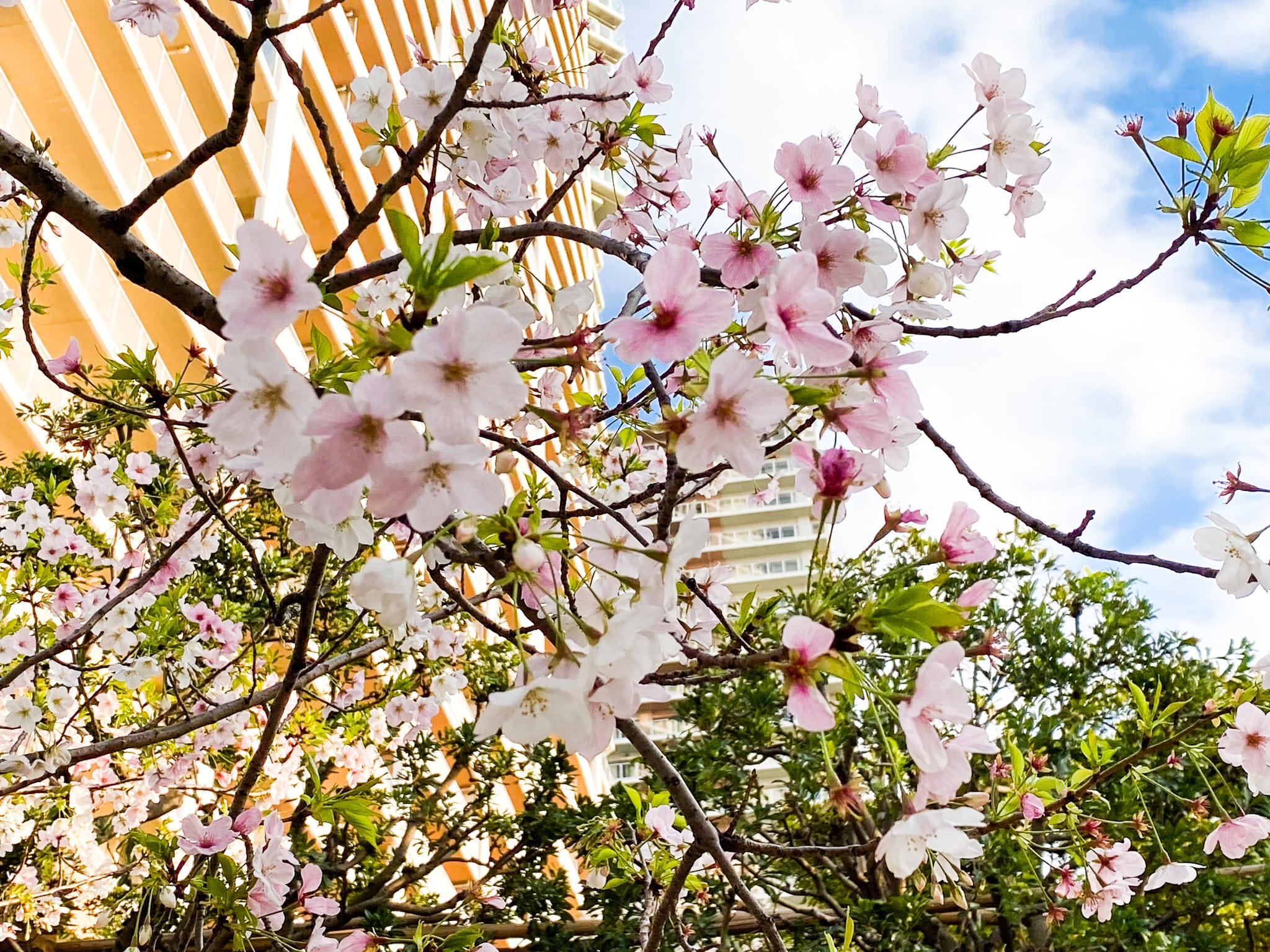 豊洲の桜 1