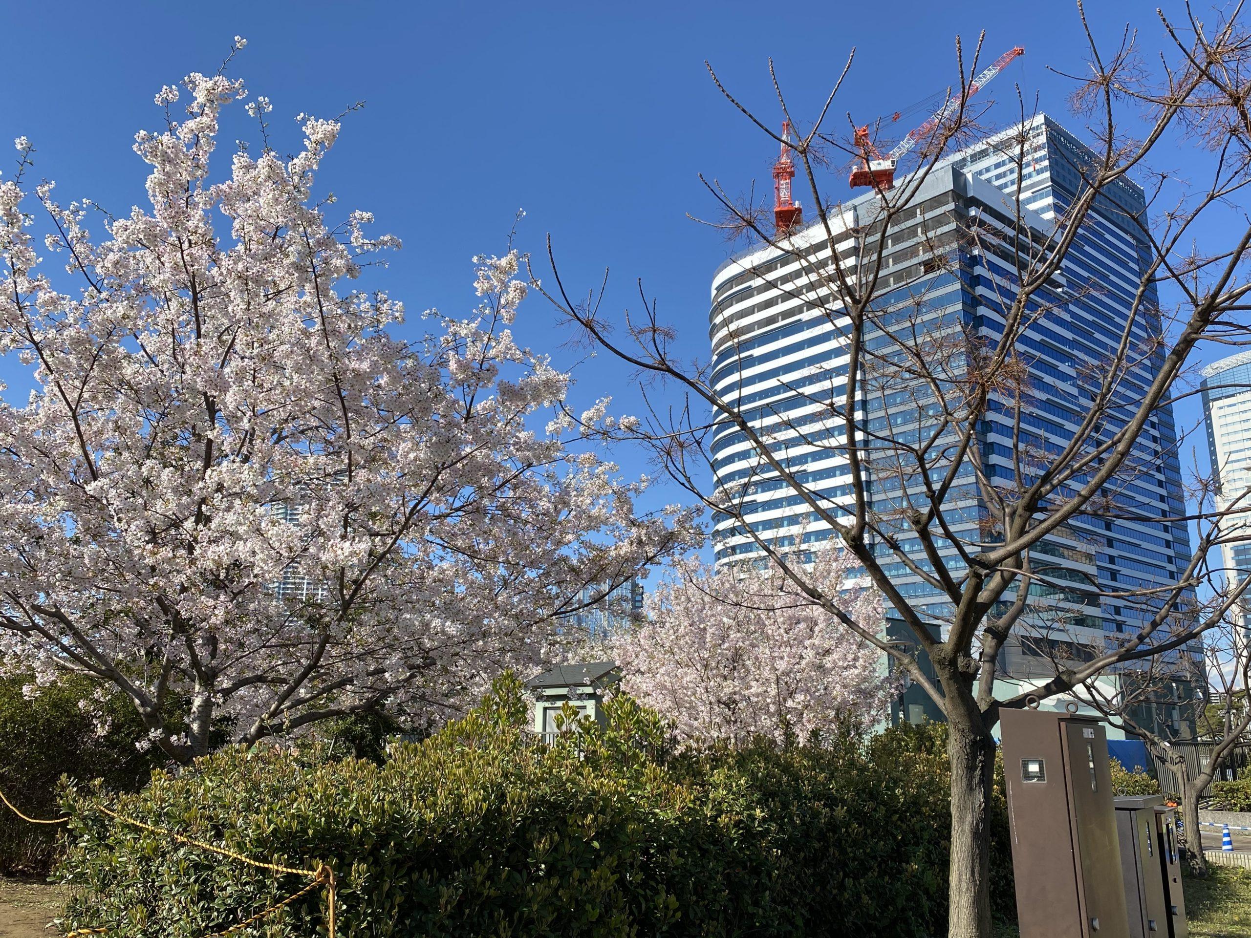 豊洲の桜2020(2)